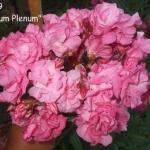 Roseum Plenum