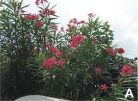 A ábra: Leander (Nerium oleander L.)