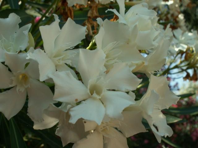 Kalliope - Oleander Samenpflanze 71